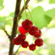 Red currants on branch — Stock Photo