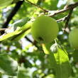 Green apple on a branch — Foto Stock