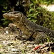 Stock Photo: Water monitor (Varanus Salvator)