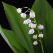 Lily of the valley isolated on black — Stock Photo