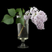 Branch of lilac in a vase isolated on black — Stock Photo