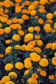 Prado con caléndulas naranja tagetes — Foto de Stock