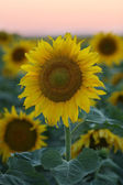 Sunset over Sunflower field — Stock Photo
