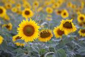Blommade solros — Stockfoto