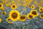 çiçek ayçiçeği — Stok fotoğraf