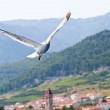 Croatisegull flying — Stock Photo #12010910