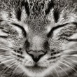 Closeup of sleeping cat face — Stock Photo #12010923