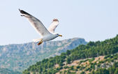 Kroatische sea gull vliegen — Stockfoto