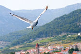 Croatian sea gull flying — Stock Photo