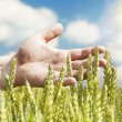 Hands near ears on cereals field in summer with sun beam - Stockfoto