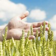 Hands near ears on cereals field in summer - Stockfoto