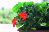 Blooming geraniums in a pot — Stock Photo