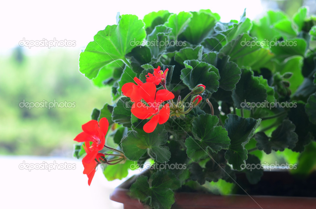 Blooming geraniums in a pot  Stock Photo #11347235