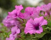 Petunia flowers — Stock Photo