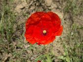 Papaver- Common Poppy flower — Stock Photo