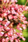 Flying-bee — Photo