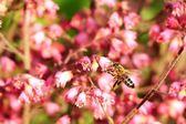 Létající včelka — Stock fotografie