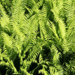 Male ferns — Stock Photo