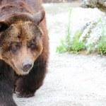 Bear head — Stock Photo
