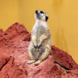 Standing suricata — Stock Photo