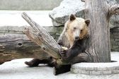 Resting Brown bear — Stock Photo