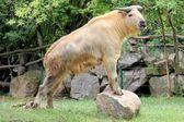 Buffalo posing — Stock Photo