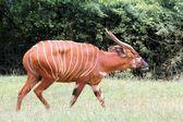 Bongo Antelope — Stock Photo