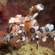 Harlequin Shrimp — Stock Photo