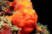 Painted Frogfish — Stock Photo