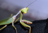Praying Mantis — Stock Photo