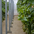 Almeria greenhouse cucumber plantation — Stock Photo #11335382
