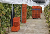 Almeria greenhouse cucumber plantation — Stock Photo