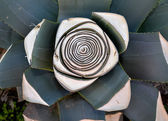 Agave plant — Stock Photo