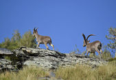 Ibex or wild goat in Spain. — Stock Photo