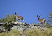 íbice o cabra salvaje en españa. — Foto de Stock