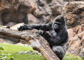 Big gorilla relaxes — Stock Photo