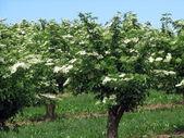 Sambucus strom — Stock fotografie