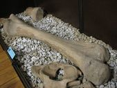 Mammoth bone — Zdjęcie stockowe