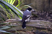 Butcherbird — Foto de Stock