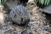 Echidna — Stock Photo