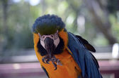 South American Macaw — Stock Photo