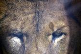 Глаза льва — Стоковое фото
