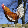Stock Photo: Rooster in sun on brick wall