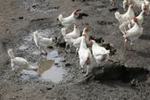 Biological chickens in mud — Stock Photo