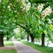 Stock Photo: Blooming chestnuts