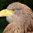 Sea eagle - Stock Photo