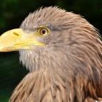 Sea eagle — Stock Photo #10787242