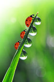 Dew and ladybirds — Photo