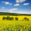 Rapeseed field — Stock Photo #11353199