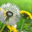 Dandelions — Stock Photo #11353323
